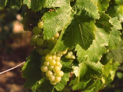 Raisin cépage Chardonnay