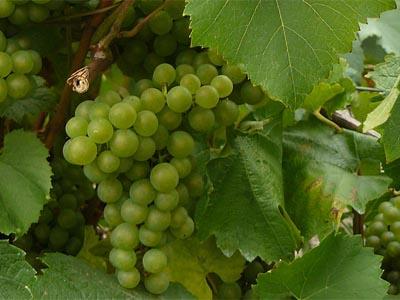 Cépage Melon Bourgogne