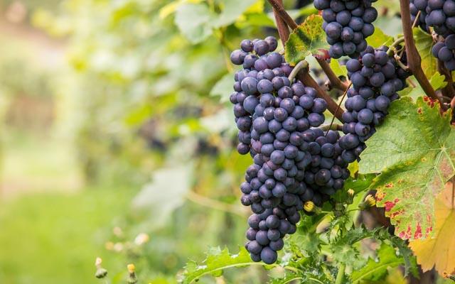 Pinot Noir - Histoire du cépage
